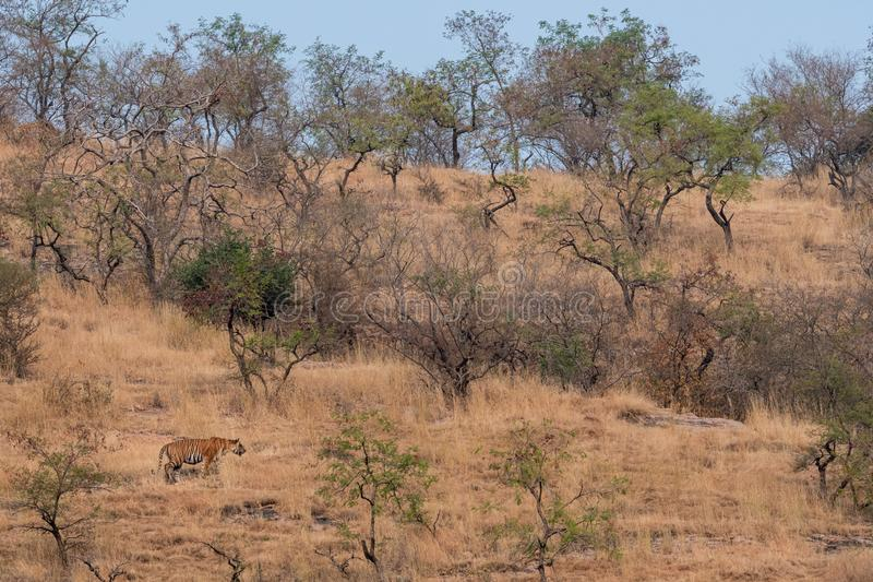 Wild Male tiger of ranthambore on stroll for territory marking. Landscape and habitat of a wild male tiger of dry deciduous forest. Of Ranthambore Tiger Reserve stock image