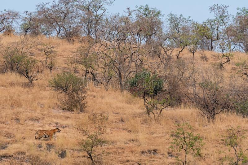 Wild Male tiger of ranthambore on stroll for territory marking. Landscape and habitat of a wild male tiger of dry deciduous forest. Of Ranthambore Tiger Reserve royalty free stock photos