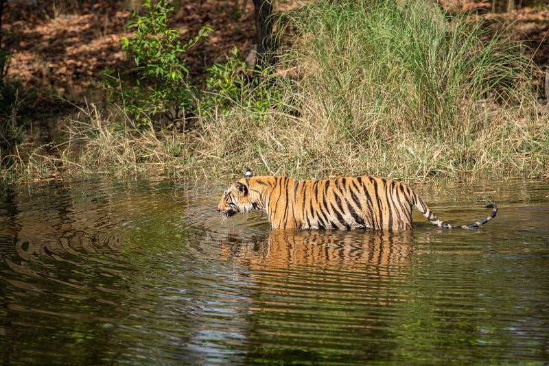 Wild male tiger walking in water with reflection at bandhavgarh natinal park or tiger reserve, madhya pradesh, india. Panthera tigris royalty free stock photography