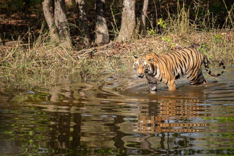 Wild male tiger walking in water with reflection at bandhavgarh natinal park or tiger reserve, madhya pradesh, india. Panthera tigris royalty free stock image