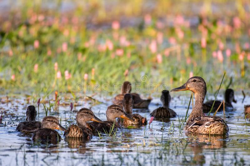 Wild Mallard duck with Ducklings swim in pond, Anas platyrhynchos.  stock photo