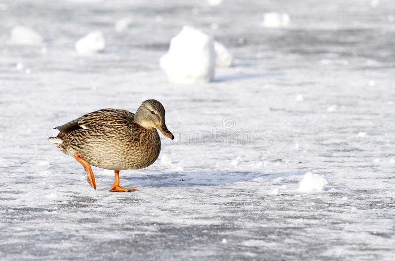 Wild mallard duck walking on ice in the winter royalty free stock images