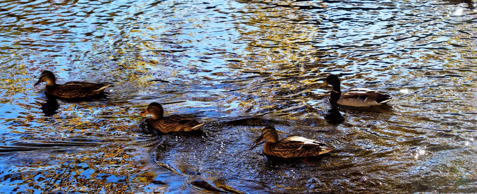 Wild Ducks Mallard swim in a forest lake, the water shines brightly in the sun. royalty free stock images