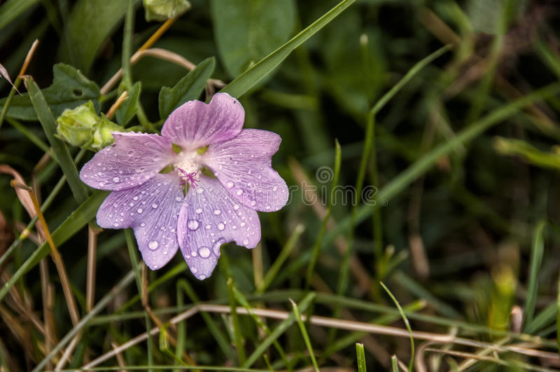 Wild mallow. Common mallow (malva sylvestris) with leaves and flower bud royalty free stock image