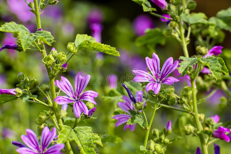 Flower of the Wild mallow, Malva silvestris, Bavaria, Germany, Europe. The wild mallow is one of the oldest known useful plants. It was already cultivated as a royalty free stock image