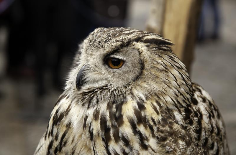 Wild mammal owls royalty free stock image