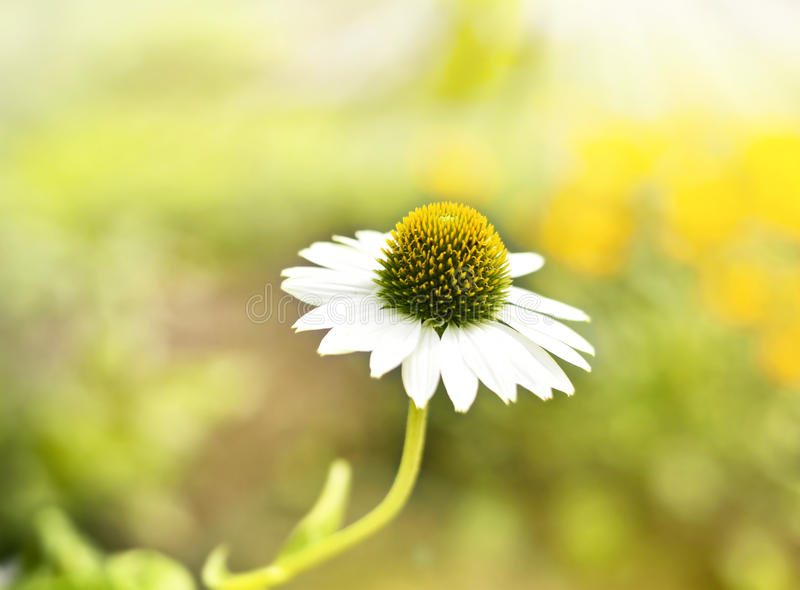 Wild marguerite or coneflower in the sun stock images