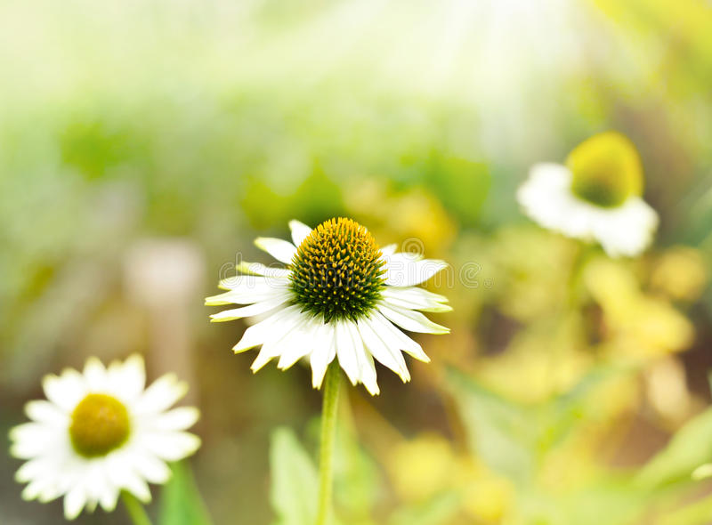 Wild marguerite or coneflower in the sun. Wildflower with copy space and selective focus on the foreground stock image