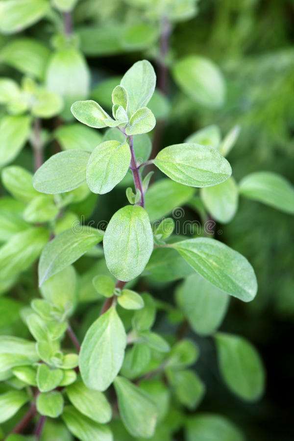 Download Wild Marjoram In The Garden Stock Image - Image: 36513927