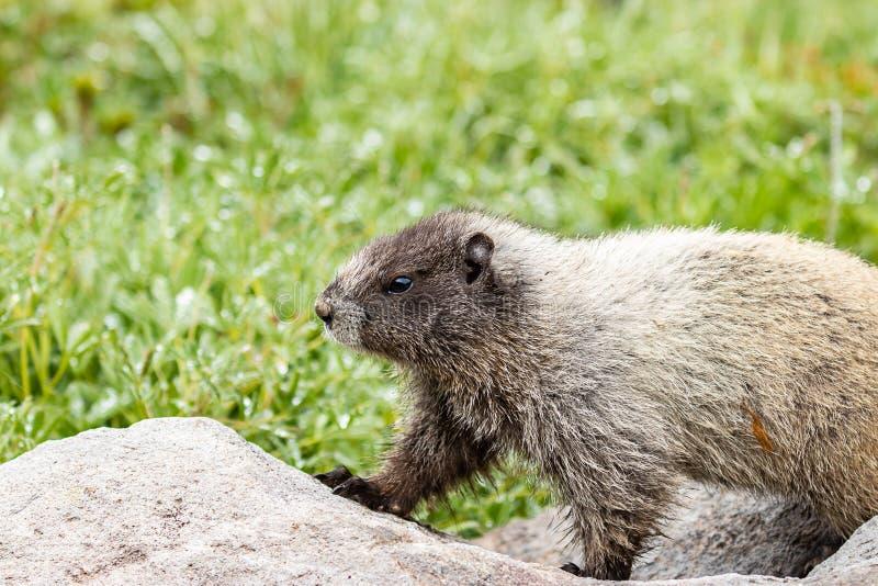wild marmot walking over rocks in meadow stock image