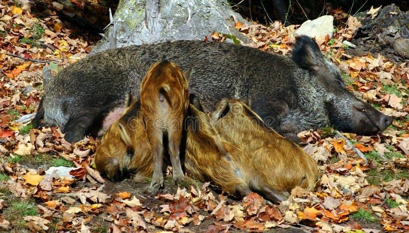 Download Wild Matande Piglets Sig Själv Fotografering för Bildbyråer - Bild av matning, breckenridge: 277543
