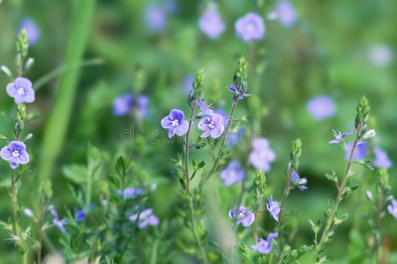 Background of blue meadow flowers of a speedwell Veronica in a natural environment royalty free stock photography