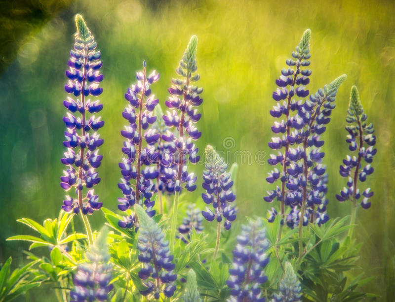 Wild meadow in summer. Evening light, lupine royalty free stock image