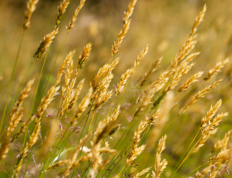 Wild meadow wheat grass. Close-up stock image