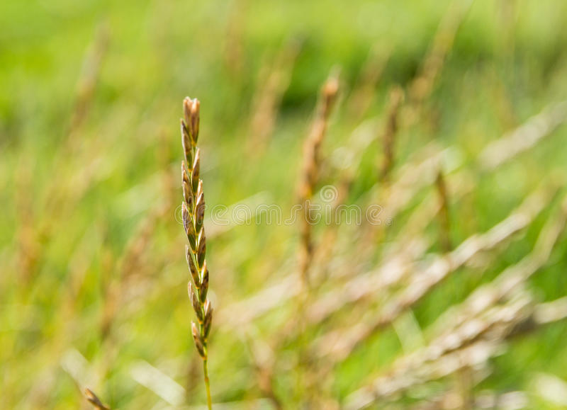 Wild meadow wheat. Grass close-up royalty free stock photography