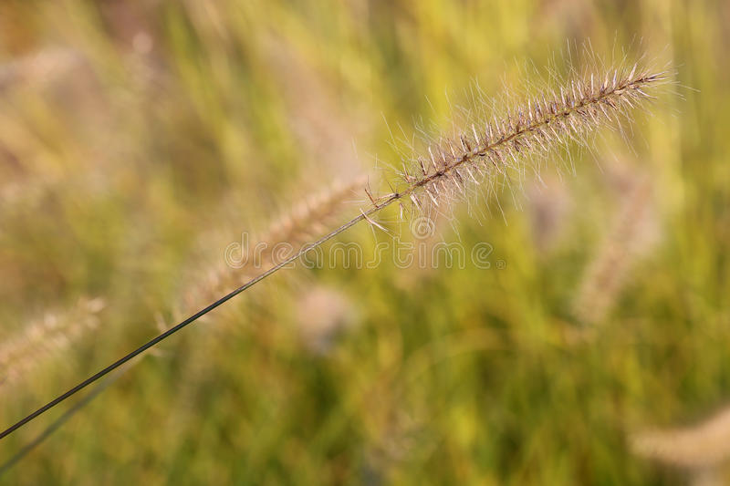 Wild meadow wheat grass close-up. Afternoon sun on grass in a gentle breeze in residential area stock photography