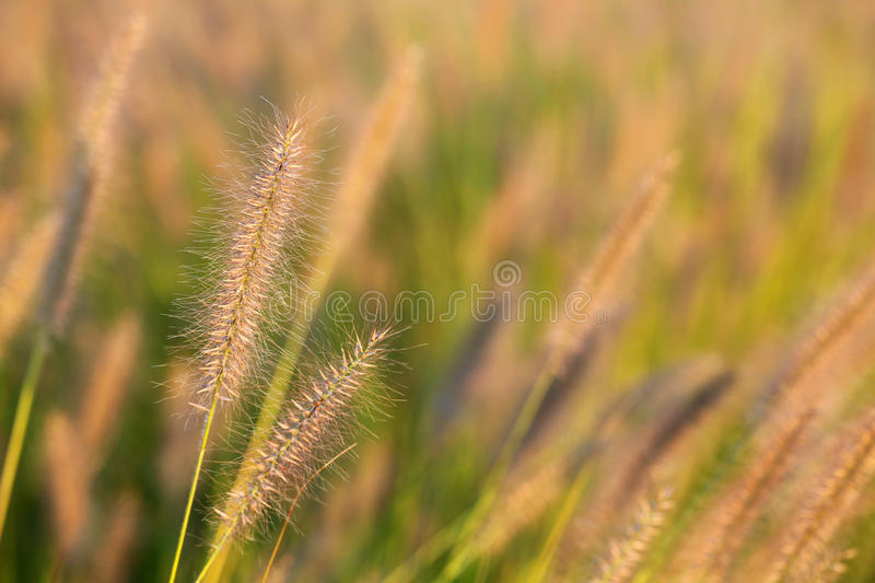 Wild meadow wheat grass close-up. Afternoon sun on grass in a gentle breeze in residential area stock photo