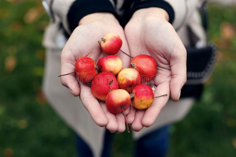 Wild mini apples in the hands of a girl. Wild mini apples in the hands of girl, small, miniature, day, happy, farming, closeup, sweet, young, gardening, many royalty free stock photos