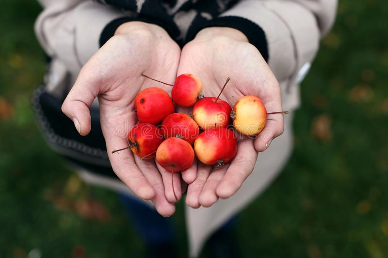 Wild mini apples in the hands of a girl. Wild mini apples in the hands of girl, small, miniature, day, happy, farming, closeup, sweet, young, gardening, many stock images