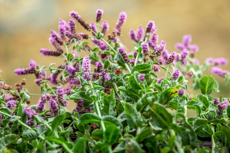 Wild mint closer. Wild mint flower with purple flower royalty free stock images
