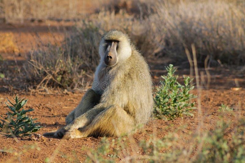 Wild baboon monkey in Africa. Wild monkey in Africa sitting on the ground. African wildlife primate animal monkey stock photos