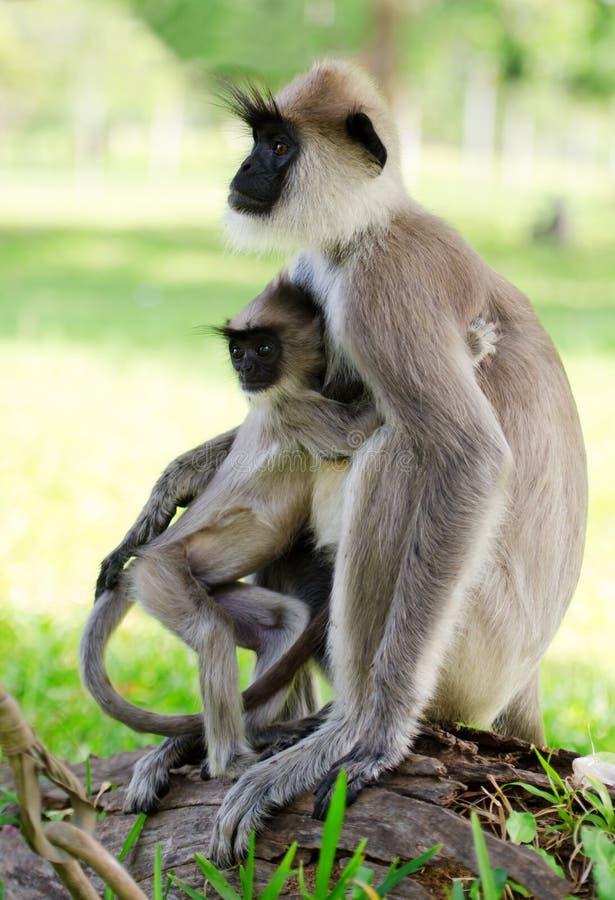 Wild monkey with baby stock photo