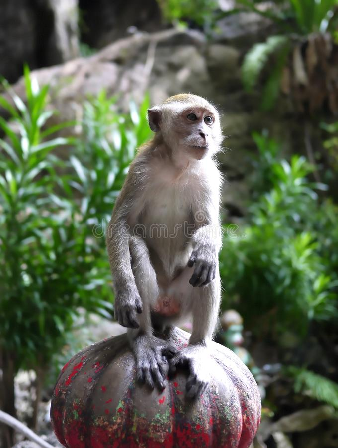 Wild Monkey. A wild monkey outside Malaysia Batu Caves stock image