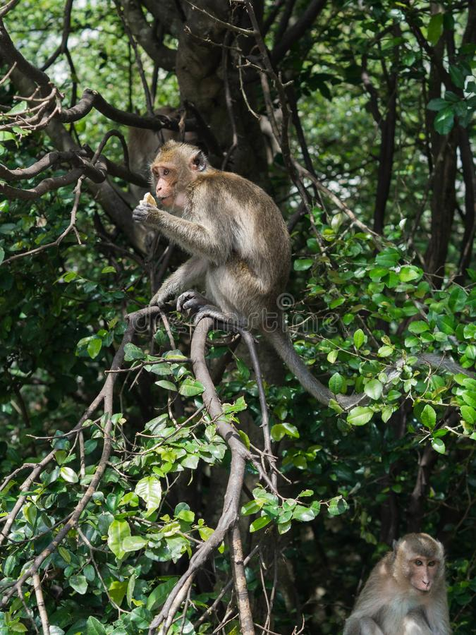 Wild monkey on a tree branch stock images