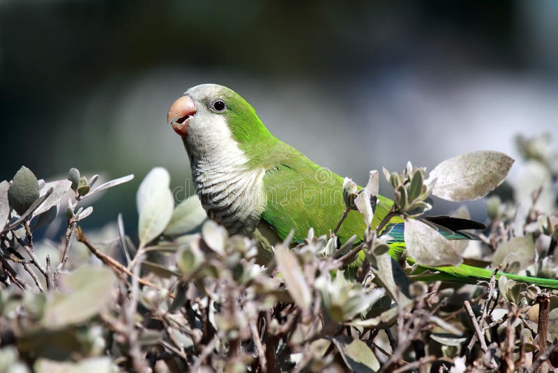wild monkparakiter royaltyfria bilder