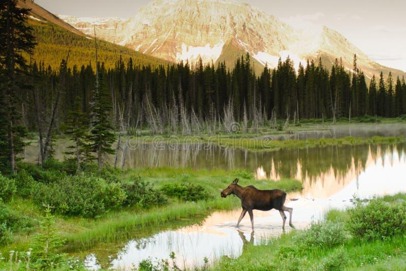Wild Moose. Feeding by a lakeshore at sunrise Kananaskis Country Alberta Canada stock image