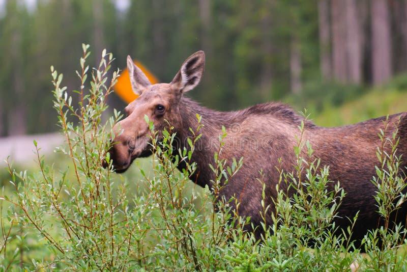 Wild Moose. In the mountains, Kananaskis country Alberta Canada stock photography