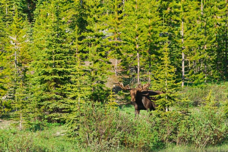 Wild Moose. Wild Bull Moose with velvet antlers, Kananaskis Country Alberta, Canada stock photos