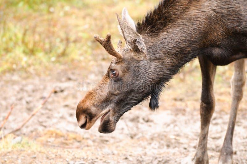 Wild Moose. Kananaskis Country Alberta Canada stock images