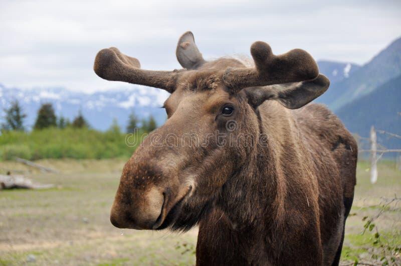 Wild moose, Alaska. Wild male moose in Alaska royalty free stock photography