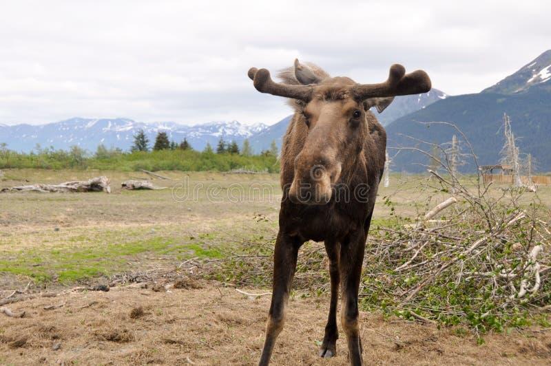 Wild moose, Alaska. Wild moose in Alaska (USA royalty free stock image
