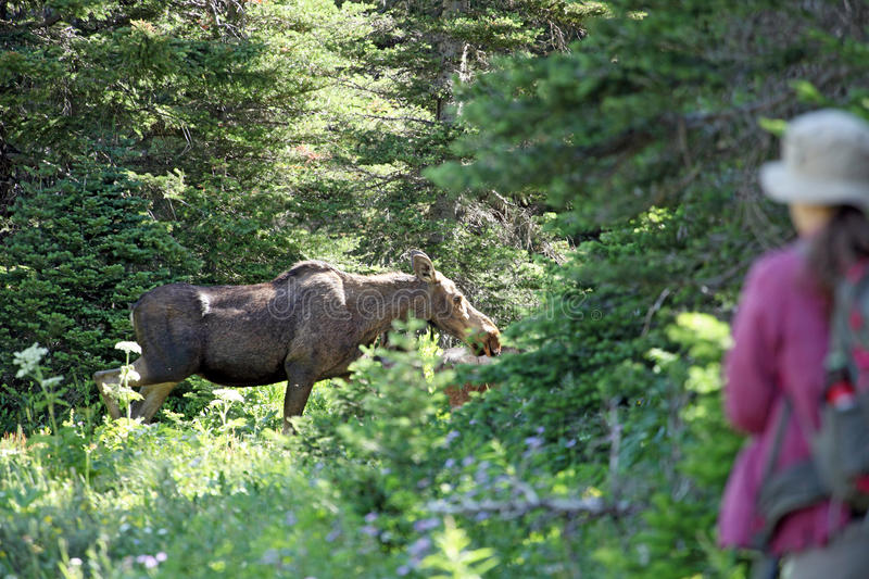 Wild moose in a forest and hiker. A hiker watches a moose at close range royalty free stock images
