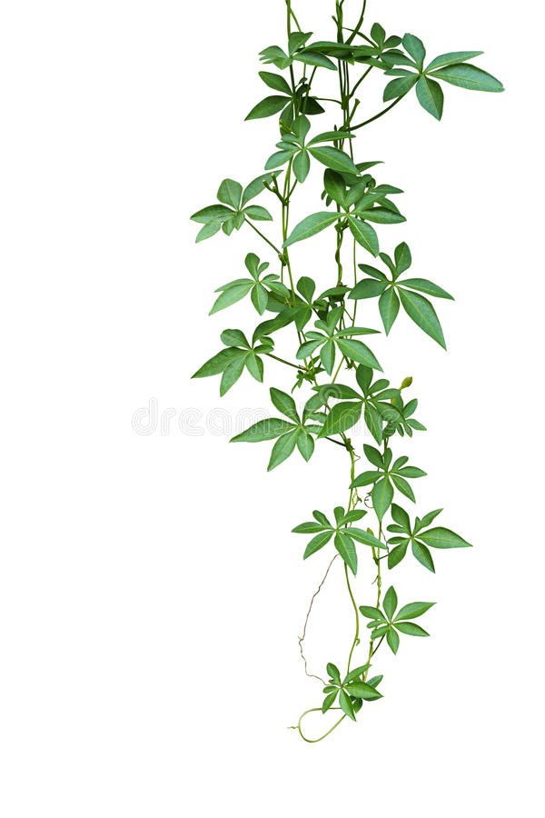 Free Wild Morning Glory Climbing Vine Hanging With Palmate Green Leaves And Budding Flower Isolated On White Background, Clipping Path Stock Photos - 88540833