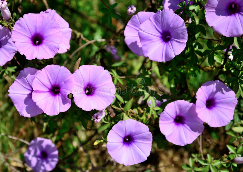 Wild morning glory flowers. Purple flowers bloom holds a variety of wild violet. Up naturally Is the natural beauty that exists royalty free stock image