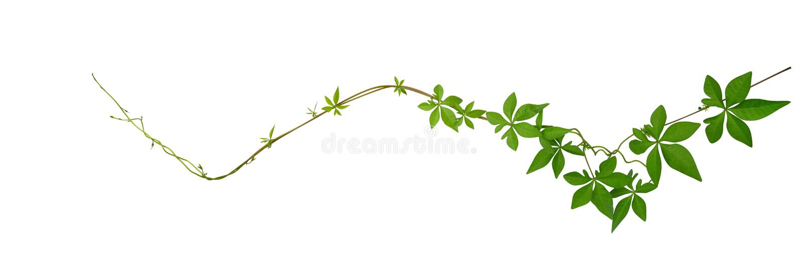 Wild morning glory leaves climbing on twisted jungle liana isolated on white back ground, path. Wild morning glory leaves climbing on twisted jungle liana royalty free stock photography