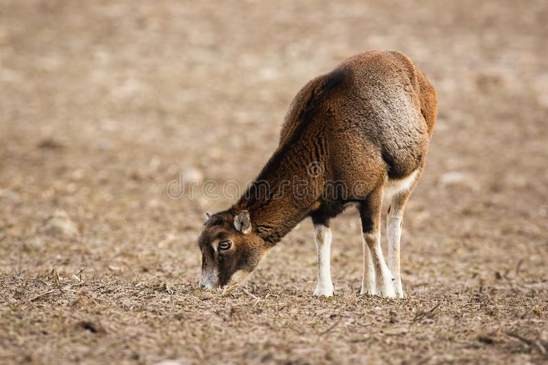 Wild mouflon female sheep grazing on a field with short dry grass in winter royalty free stock image