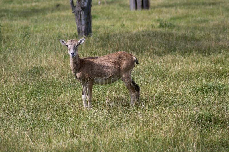 Wild mouflon sheep, one female grazing on pasture in daylight, green meadow, wild animals stock images