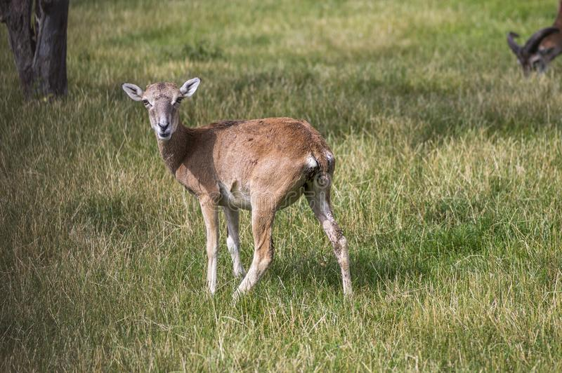 Wild mouflon sheep, one female grazing on pasture in daylight, green meadow, wild animals royalty free stock photos