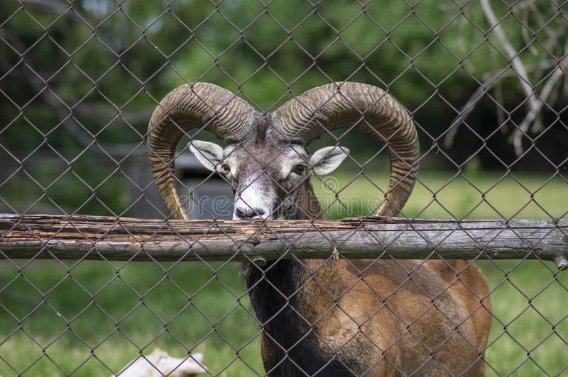 Wild mouflon sheep, one male grazing on pasture in daylight, green meadow, wild animals royalty free stock photos