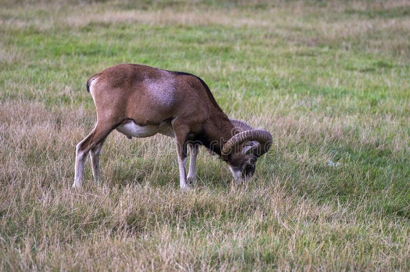 Wild mouflon sheep, one male grazing on pasture in daylight, green meadow, wild animals royalty free stock photography