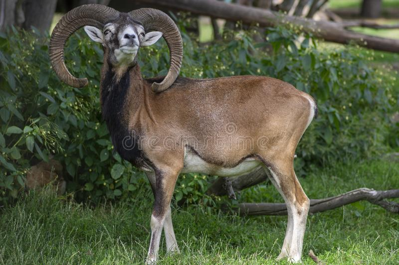 Wild mouflon sheep, one male grazing on pasture in daylight, green meadow, wild animals stock image