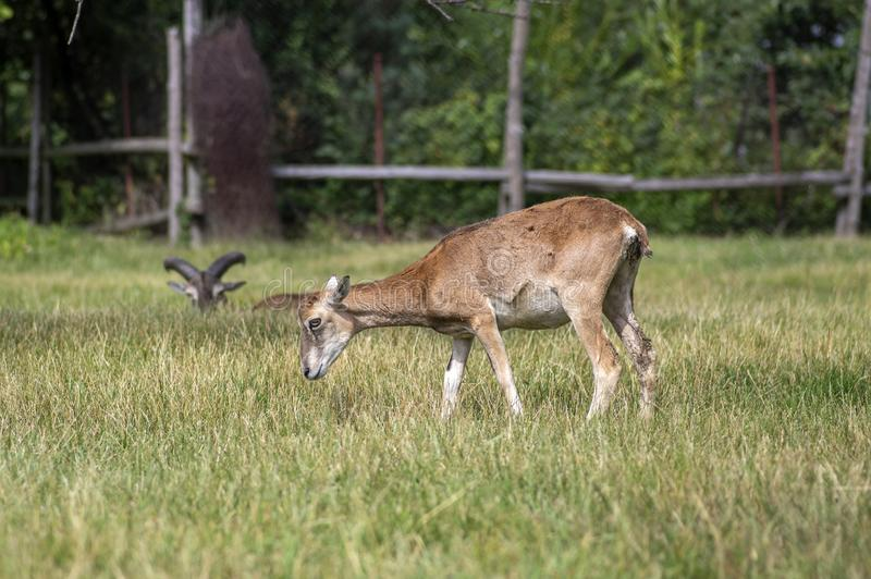 Wild mouflon sheep, pair of grazing animals on pasture in daylight, green meadow, wild animals stock images