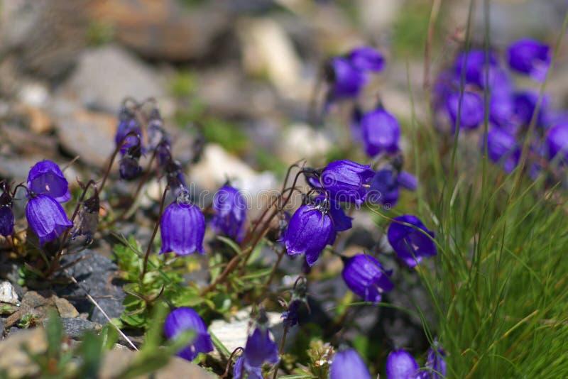 Wild Mountain Flowers Stock Photography