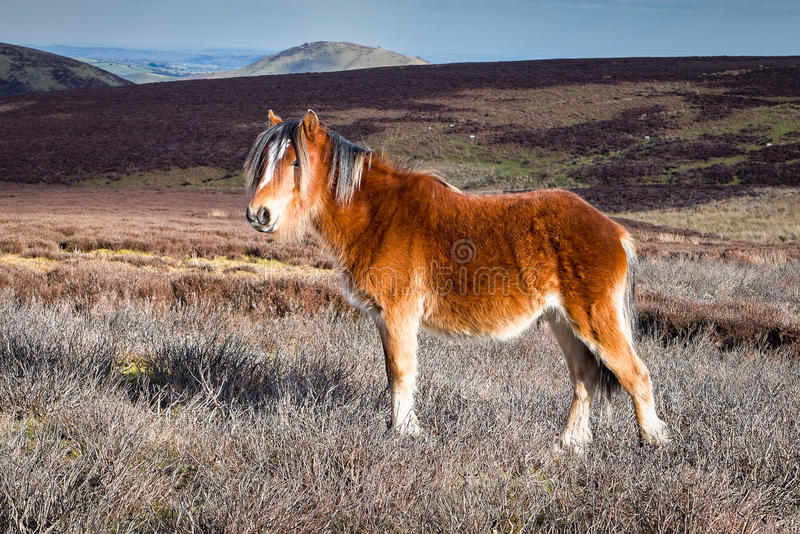 Wild Mountain Pony in Shropshire Hills, England royalty free stock photography