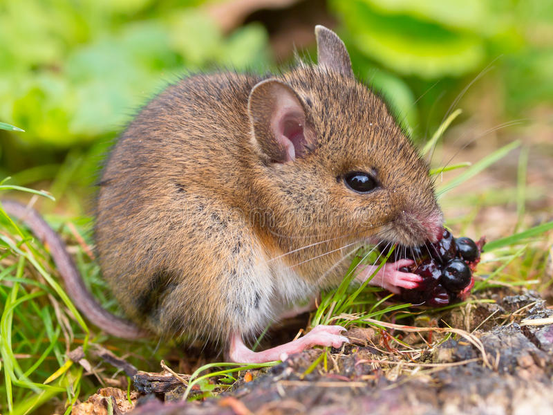 Wild mouse eating blackberry sideview. Wild mouse eating blackberry on log sideview royalty free stock images