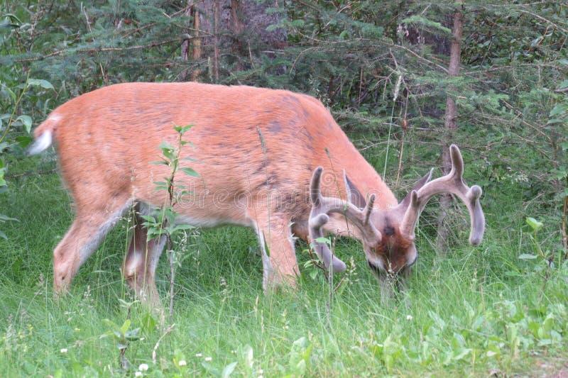 Wild mule deer. Mule deer that eat pastures in Banff, Canada stock photos